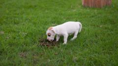 Защо кучетата ядат изпражненията си