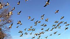 Птица приземи самолет в САЩ