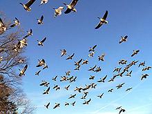 Броят водоплаващите птици, които зимуват у нас