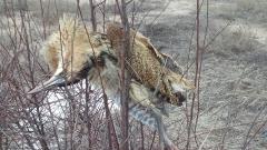 Бракониери стрелят по застрашени видове край Шабла