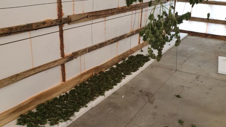 Разкриха домашна оранжерия за марихуана в Димитровград