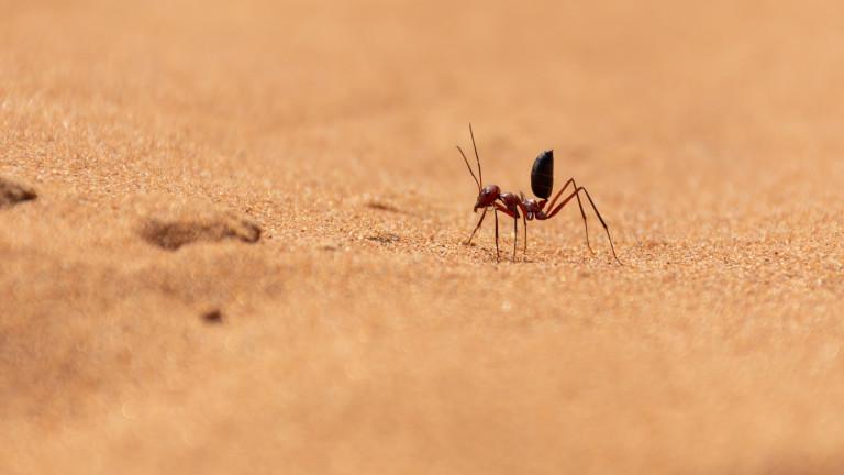 Снимка: Колко бърза е най-бързата мравка на планетата