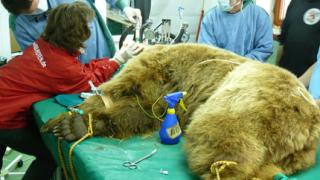 Немски зъболекар прегледа мечките в Белица