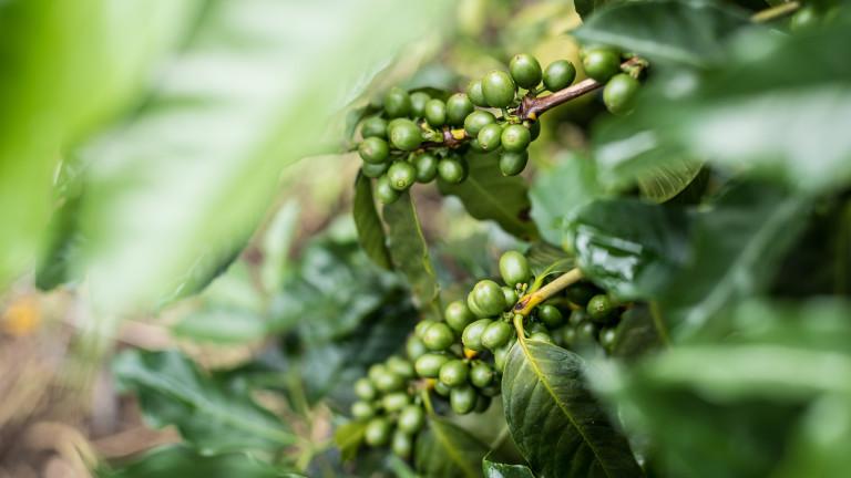 Студовете в Бразилия може да унищожат реколта от 600 милиона килограма кафе