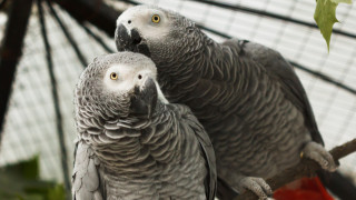 Разделят 5 сиви папагала в британски зоопарк - заедно псували много