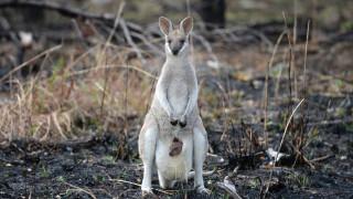 Помощ от въздуха за австралийското скално валаби