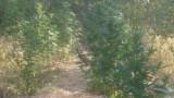 Осъдиха земеделец, отгледал марихуана за близо 300 хил. лв.