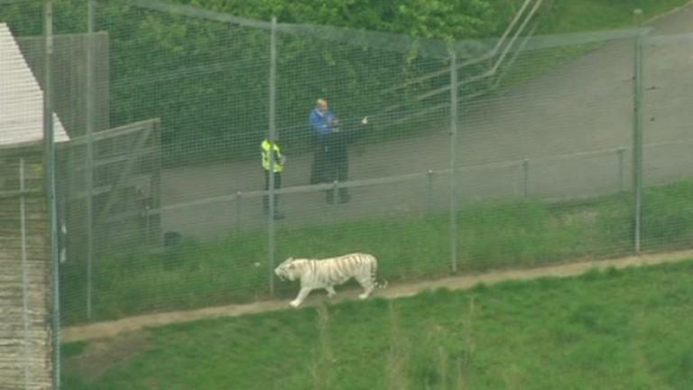 Тигри и лъвове от зоологическата градина в Бронкс с коронавирус