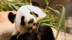 Почина най-старата панда, живееща в плен