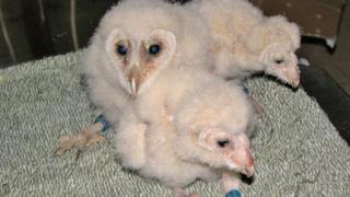 Внимавайте с младите сови