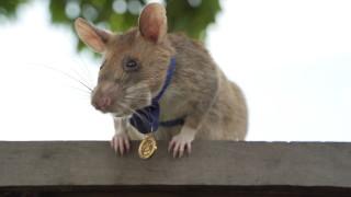 Плъх герой получи златен медал за откриване на мини в Камбоджа