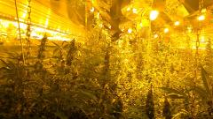 Двама засадиха над 450 саксии с канабис в импровизирана оранжерия