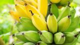 Ще изчезнат ли бананите
