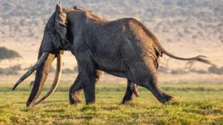 На 50 години в Кения почина Тим, един от последните големи слонове с огромни бивни