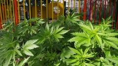Откриха плантация с 300 кг марихуана край Петрич