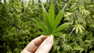 Една от страните с най-строги закони за употреба на наркотици създава синтетичен канабис