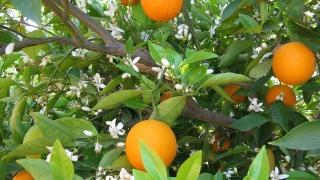 Парадокс: Произвеждаме сок от портокали колкото зеленчукови консерви