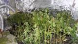 Разбиха две наркооранжерии в Благоевградско