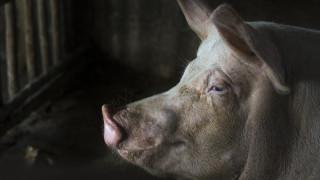 Проверяват за чума и най-големия свинекомплекс във Великотърновско