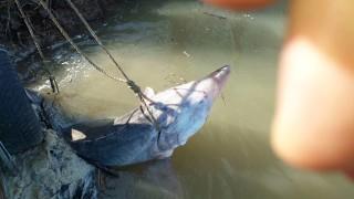 Спасиха 200-килограмова моруна от бракониер