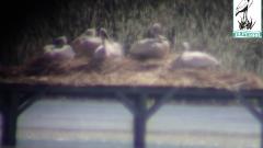 """Излюпи се къдроглаво пеликанче в парк """"Персина"""""""