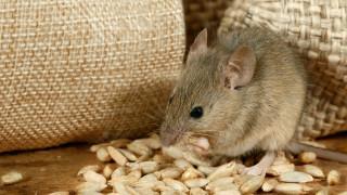 Да си мишка в римско време