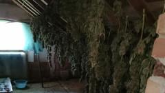 Арестуваха шестима, свързани с отглеждане на марихуана в село Брястовец