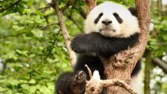 Защо пандите са черно-бели? (ВИДЕО)