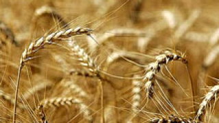 324 килограма от декар е средният добив от пшеница в Пловдивско
