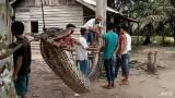 Гигантски питон нападна и почти откъсна ръката на индонезиец, изядоха го