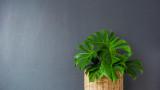Драцена, бамбук, калатея и растенията, които не се нуждаят от слънчева светлина
