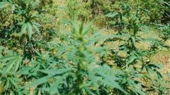 Нови ниви с канабис откриха в района на Петрич и Сандански