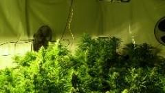 Разбиха домашна оранжерия за марихуана в Добричко