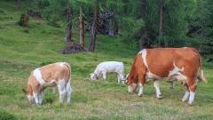 С 14% намалява продукцията в животновъдството, отчитат от НСИ
