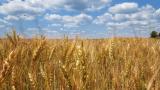 Един от топ износителите на зърно в света обмисля забрани за експорт на пшеница