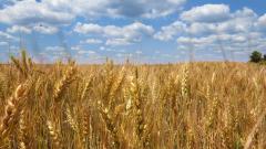 Рекордни добиви и запаси удрят по цената на пшеницата