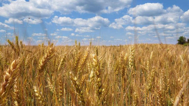 Световните запаси от пшеница гонят исторически рекорд
