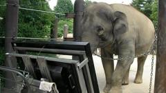 Слонът, който работи с тъч скрийн и брои