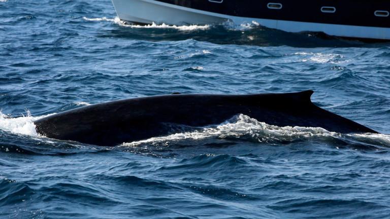 За първи път от 30 г. Япония възобнови търговския улов на китове