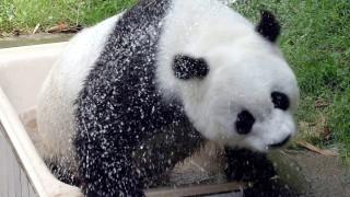 Най-старата гигантска панда в света почина на 37 г.