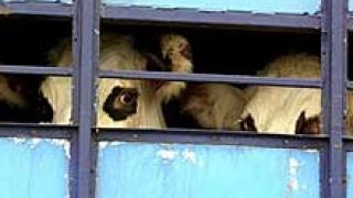 Още три огнища на шап в Бургаско