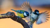 Големият синигер, глобалното затопляне и мрачната прогноза за изчезването на вида заради климатичните промени