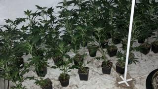 Зад решетките остава мъж, отглеждал 331 растения марихуана