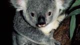 Австралия уби стотици коали