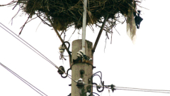 ЧЕЗ монтира над 100 платформи за обезопасяване на щъркелови гнезда