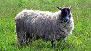 Учен създаде 4 нови копия на овцата Доли