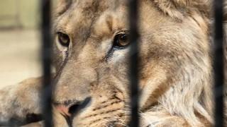 Разследват сигнал за жестокост към лъв в зоопарка в Разград