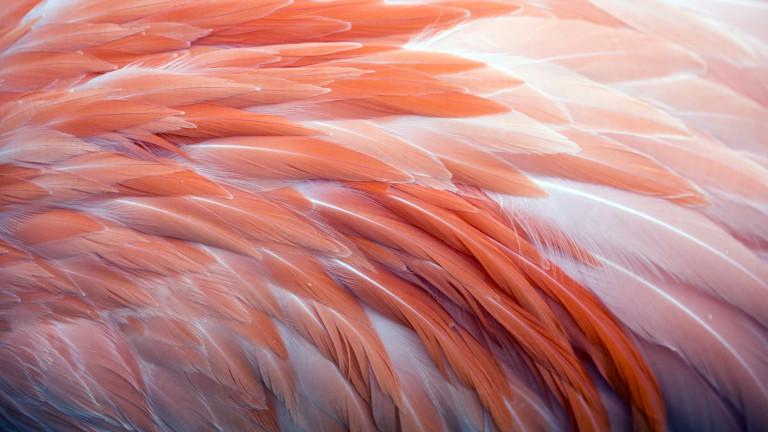 Тайната за цвета на фламингото