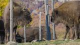 Източните Родопи вече са дом на 11 зубъра