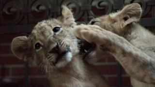 Лъвчетата Терез и Масуд пристигнаха в Холандия